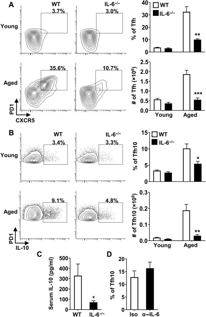 IL-6 is required for Tfh10 cells and for elevated levels of IL-10 in aged mice. ( A and B ) Splenocytes from young (2 months, n ≥ 4 per group) and aged (17 months, n ≥ 4 per group) C57BL/6 or IL-6 −/− mice were stimulated with P + I, stained with antibody against TCRβ, CD8, CXCR5, PD1, FoxP3, and IL-10 and analyzed by flow cytometry. The representative plots and bar graphs show the frequency and total number of FoxP3 − that are (A) CXCR5 + PD1 + and (B) those that produce IL-10 (means ± SEM). ( C ) Aged C57BL/6 (17 months, n = 9) and IL-6 −/− (17 months, n = 9) mice were intravenously injected with biotinylated anti–IL-10 antibodies, serum was collected 24 hours later, and IL-10 levels were measured by ELISA. Graph shows the average serum IL-10 (means ± SEM). ( D ) Aged C57BL/6 mice were treated with isotype control (19 months, n = 6) or α–IL-6 blocking antibody (19 months, n = 8) on day 0 and euthanized on day 2. Splenocytes were stimulated with P + I, stained with antibody against TCRβ, CD8, PD1, FoxP3, and IL-10, and analyzed by flow cytometry. The representative bar graph shows the frequency of FoxP3 − that are IL-10 + (means ± SEM). * P ≤ 0.05, ** P ≤ 0.01, and *** P ≤ 0.001, Student's t test.