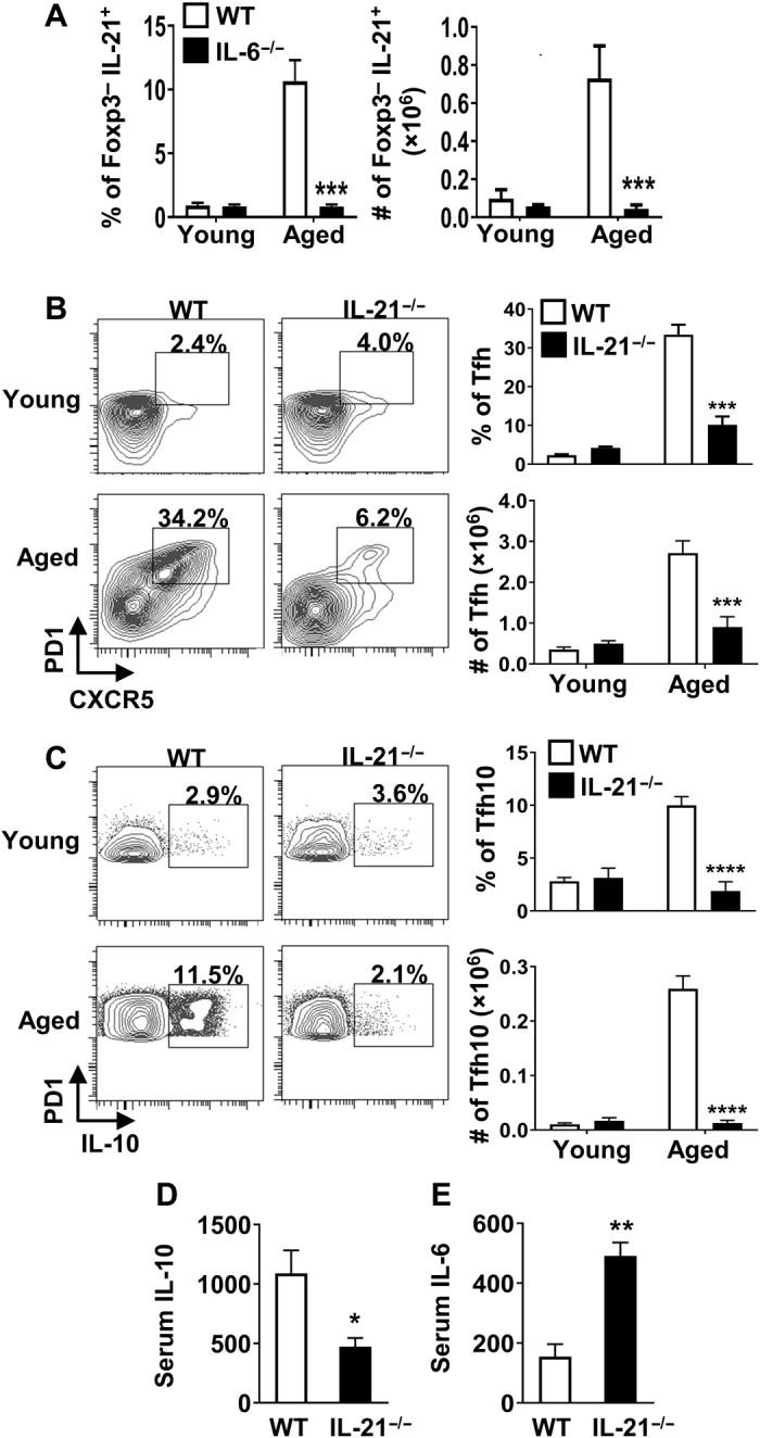 IL-21 contributes to accrual of Tfh10 cells and regulates the systemic IL-6/IL-10 balance. ( A ) Splenocytes from young (2.5 months, n ≥ 4 per group) and aged (16 months, n ≥ 4 per group) C57BL/6 or IL-6 −/− mice were stimulated with P + I, stained with antibody against TCRβ, CD8, FoxP3, and IL-21, and analyzed by flow cytometry. Bar graphs show the frequency and total number of FoxP3 − that are IL-21 + (means ± SEM). ( B and C ) Splenocytes from young (2 months, n ≥ 4 per group) or aged (17 months, n ≥ 3 per group) C57BL/6 or IL-21 −/− mice were stimulated as above, stained with antibody against TCRβ, CD8, CXCR5, PD1, FoxP3, and IL-10, and analyzed by flow cytometry. The representative plots and bar graphs show the frequency and total number of FoxP3 − cells that are (B) CXCR5 + PD1 + and (C) those that produce IL-10 (means ± SEM). Data are pooled from two independent experiments. ( D and E ) Aged C57BL/6 (17 months, n = 4) and IL-21 −/− (17 months, n = 3) mice were intravenously injected with biotinylated anti–IL-10 and anti–IL-6 capturing antibodies, serum was collected 24 hours later, and IL-10 and IL-6 levels were measured by ELISA. Graphs show the average serum (D) IL-10 and (E) IL-6 (means ± SEM). * P ≤ 0.05, ** P ≤ 0.01, *** P ≤ 0.001, and **** P ≤ 0.0001, Student's t test.