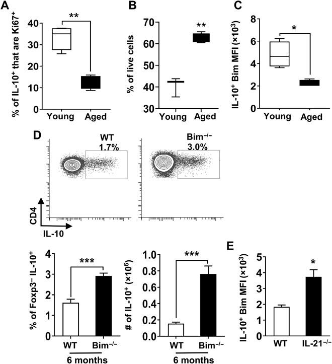 IL-21–driven repression of Bim in aged Tfh10 cells results in their enhanced survival. Splenocytes from young (1.5 months, n = 4) and aged (18 months, n = 4) mice were stimulated with P + I, stained, and analyzed by flow cytometry. ( A ) Graph shows the frequency of FoxP3 − IL-10 + cells that are Ki67 + (means ± SEM). ( B ) Spleen cells were pooled from young (2 months, n = 9) and aged (18 months, n = 6) IL-10 gfp (VertX) mice, and CXCR5 + PD1 + GFP + cells were fluorescence-activated cell sorting (FACS)–sorted and cultured. After 15 hours in culture, cells were stained for FoxP3 and a viability dye. Graph shows the percentage of live cells in gated FoxP3 − cells (means ± SEM). ( C ) Splenocytes from young (2 months, n = 4) and aged (18 months, n = 4) mice were stimulated as mentioned in (A). Graph shows the level of expression of Bim in FoxP3 − IL-10 + cells (means ± SEM). ( D ) Splenocytes from 6-month-old WT C57BL/6 and Bim −/− mice ( n = 6 per group) were stimulated as mentioned in (A), stained, and analyzed by flow cytometry. Plots and bar graphs show the frequency and total number of FoxP3 − that are IL-10 + (means ± SEM). ( E ) Splenocytes from aged (17 months, n = 3 to 4 per group) C57BL/6 or IL-21 −/− mice were stimulated as mentioned in (A), stained, and analyzed by flow cytometry. Graph shows the levels of expression of Bim in FoxP3 − CXCR5 + PD1 + that are IL-10 + cells (means ± SEM). * P ≤ 0.05, ** P ≤ 0.01, and *** P ≤ 0.001, Student's t test.