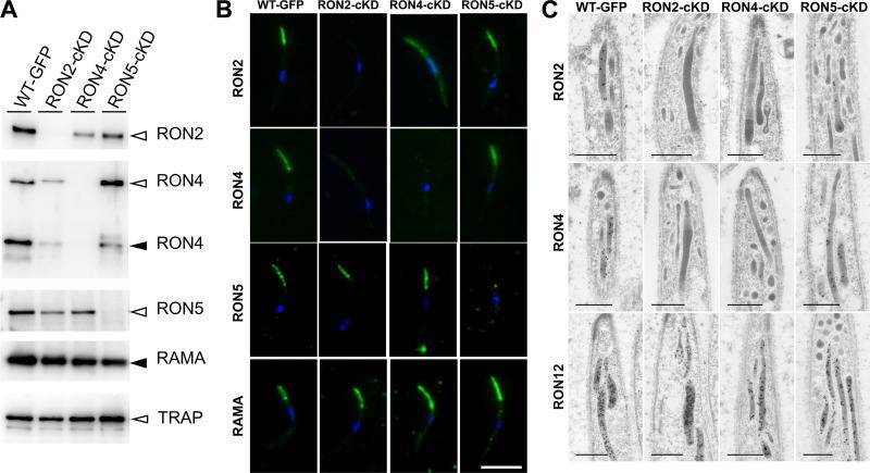 RON2 and RON4 reciprocally affect trafficking to rhoptries in oocyst-derived sporozoites. (A) Western blot analysis of RON complex components in RON2-cKD, RON4-cKD, and RON5-cKD oocyst-derived sporozoites. To investigate the effect of gene knockdowns on rhoptry proteins, homogenates from 100,000 oocyst-derived sporozoites were separated by SDS-PAGE and RON2, RON4, RON5, and RAMA proteins were detected using specific antibodies. TRAP was also detected as a micronemal protein involved in sporozoite motility. The relative intensities of each band were normalized by RAMA and are shown in Fig. S6A . Specific bands corresponding to the full-length and processed forms are indicated by open and closed arrowheads, respectively. (B) Rhoptry neck protein localization analyses in Pb WT-GFP, RON2-cKD, RON4-cKD, and RON5-cKD oocyst-derived sporozoites. Sporozoites collected from midguts were fixed by acetone on glass slides and incubated with specific antibodies against RON2, RON4, RON5, or RAMA, followed by incubation with secondary antibodies conjugated to Alexa 488 (green). Nuclei are visualized with DAPI (blue). Bar, 5 μm. Additional images are shown in Fig. S7 . (C) Immunoelectron microscopy analyses of RON2, RON4, and RON12 localization in transgenic oocyst-derived sporozoites. RON2 and RON4 localizations to rhoptries were perturbed by RON4 and RON2 knockdown but not by RON5 knockdown. RON12 localization is not affected by repression of any components of the RON complex (lower panels). Bars, 500 nm.