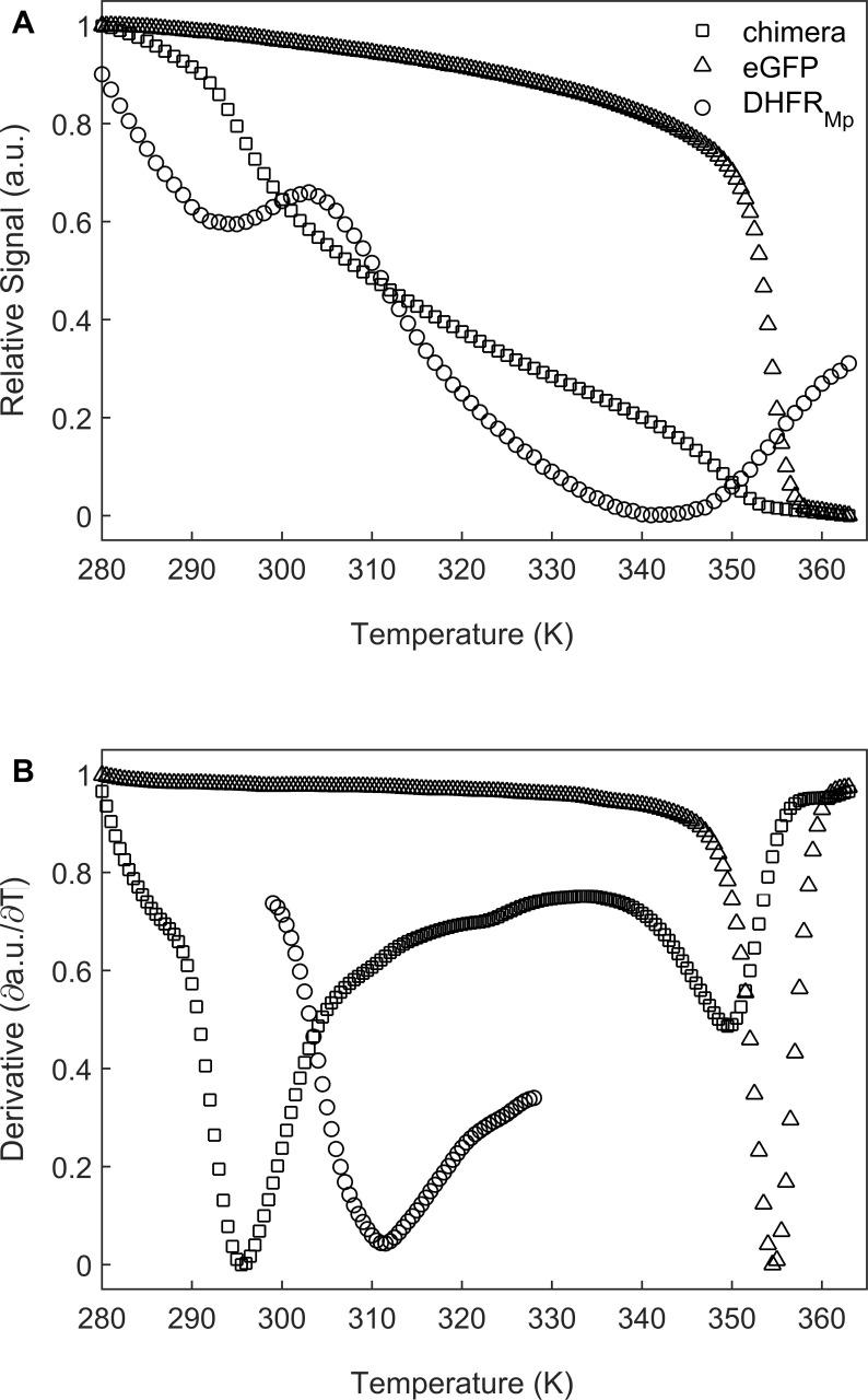 Melting temperature analysis of eGFP, DHFR Mp and their chimera. ( A ) DHFR Mp , eGFP and a chimera of these proteins were subjected to temperature denaturation in bulk solution using a Real-Time PCR machine. Denaturation was monitored by measuring the change in fluorescence of the SYPRO Orange reagent. Each trace represents the average of at least six experiments. ( B ) Plots of the first derivatives of the denaturation curves as a function of temperature. Melting points were determined from these plots by using the StepOne Software v2.3. Temperature melts of eGFP, DHFR Mp and their chimera.