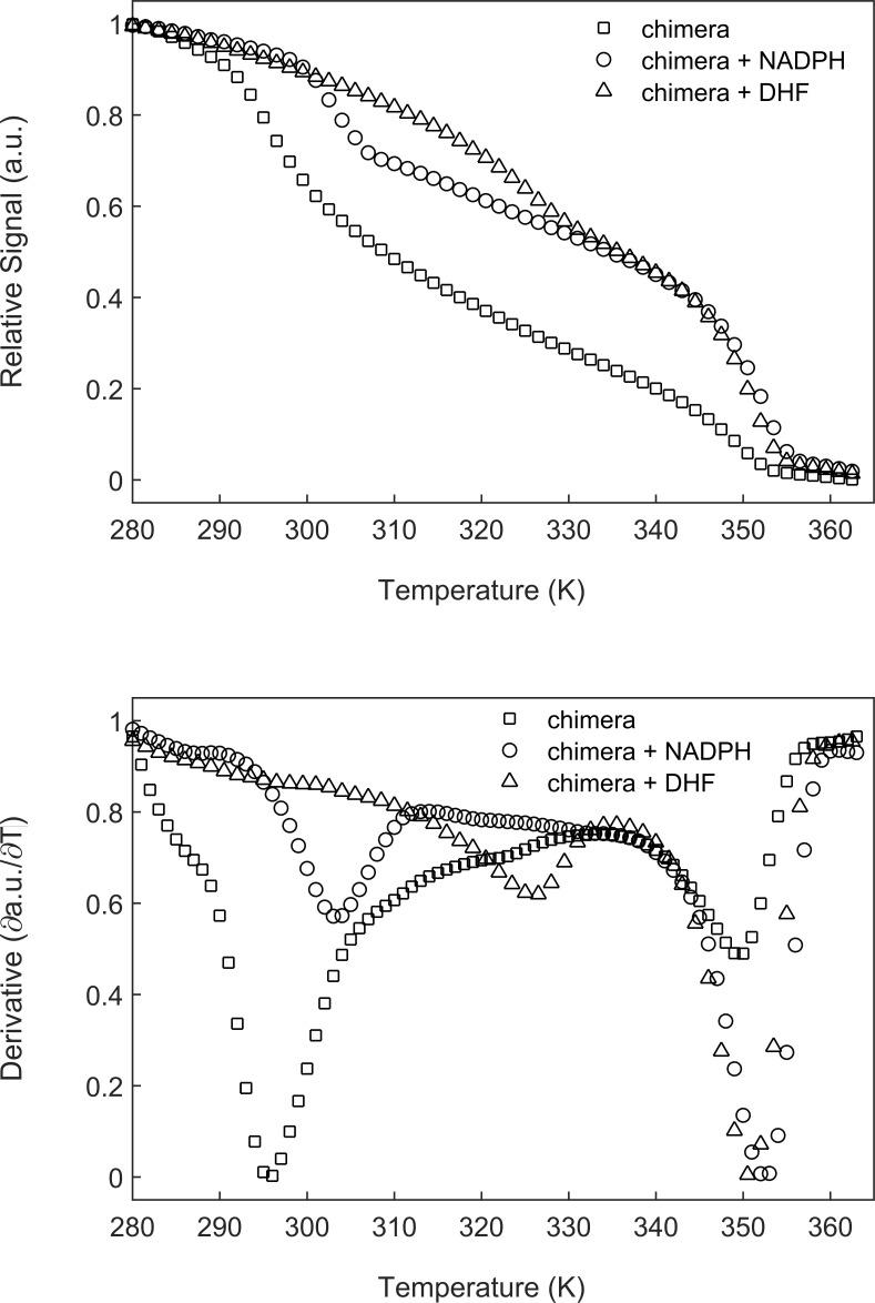 The melting temperature of DHFR Mp increases in the presence of its substrates. ( A ) The chimera (5 µM) alone or in the presence of 500 µM NADPH or DHF was subjected to temperature denaturation using a Real-Time PCR machine as described under Materials and methods. Each trace represents the average of at least six experiments. ( B ) Plots of the first derivatives of the denaturation curves as a function of temperature. Melting points were determined from these plots by using the StepOne Software v2.3. Under the conditions here, the melting temperature of the DHFR Mp part of the chimera increases, in the presence of NADPH and DHF, by about 8°C and 31°C, respectively. Temperature melts of the chimera in the absence and presence of DHF or NADPH.