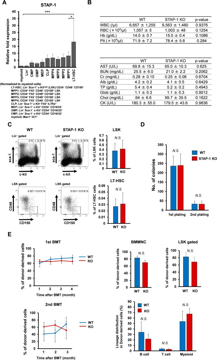 STAP-1 does not affect normal murine hematopoiesis. a The indicated subsets of hematopoietic cells derived from WT C57BL/6 mice were analyzed for STAP-1 expression by real-time RT-PCR ( n = 3). STAP-1 transcript levels were normalized to myeloid subset. b Blood counts (WT, n = 5; STAP-1 KO, n = 7) and biochemical parameters (WT, n = 4; STAP-1, KO n = 4) were evaluated using peripheral blood. c The frequency of LSK and LT-HSC (CD48 − CD150 + LSK) cells from WT and STAP-1 KO mice was analyzed. Representative flow cytometry plots for identification of LT-HSC were shown (left panels). Bar graph represents mean proportion of LSK cells or LT-HSCs (WT, n = 9; STAP-1 KO, n = 8). d LSK cells from WT or STAP-1 KO BM ( n = 6) were cultured in methylcellulose medium for 7 days, colonies were counted, and cells were serially replated. e WT or STAP-1 KO LSK cells (5000 cells, Ly5.2) were transplanted into lethally irradiated recipients (Ly5.1). At 4 months after transplantation, 2 × 10 6 whole BM cells from the primary recipient mice were transplanted into the secondary recipient mice (Ly5.1). The left line graphs represent the mean percentages of donor chimerism in recipient's PB at the indicated time points after transplantation (WT, n = 9; STAP-1 KO, n = 7 for the first BMT, and n = 11 per group for the second BMT). Upper bar graphs represent chimerism of donor-derived cells in BMMNC cells and LSK cells from primary BMT recipients of WT or STAP-1 KO LSK cells 4 months after primary BMT (WT, n = 9; STAP-1 KO, n = 7). Lower bar graph represents differentiation status (B220 + B cells, CD3 + T cells, or Mac-1/Gr-1 + myeloid cells) in BM cells from primary BMT recipients of WT or STAP-1 KO LSK cells 4 months after primary BMT (WT, n = 9; STAP-1 KO, n = 7). Data shown represent the mean ± SD. * p