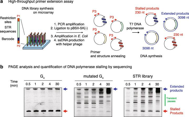 Pooled measurement of DNA polymerase stalling at STRs. a Overview of the high-throughput primer extension assay used to monitor DNA synthesis at designed sequences. A library of 20,000 sequences comprising all STR permutations at three different lengths together with control structured DNA sequences was synthesised on a programmable microarray, eluted and inserted into a phagemid vector. After PCR amplification, insertion into a phagemid vector and bacterial amplification, circular single-stranded DNA templates were produced using a M13KO7 helper phage. Fluorescently labelled primer (P3) and structure annealing were performed before initiating DNA synthesis through the addition of T7 DNA polymerase. Primers are then either fully extended to the length of the circular template, or the extension is stopped within STRs if the DNA polymerases stall at structured DNAs. b Extended and stalled products were then analysed by denaturing poly acrylamide gel electrophoresis (PAGE), recovered from the gel matrix and prepared for high-throughput sequencing. DNA polymerase stalling was then quantified by analysing the enrichment of each sequence from the library in the stalled and extended fractions. Representative fluorescence gel imaging of primer extension reactions on templates containing a G-quadruplex (G4) structure, a mutated G4 or the entire DNA library, stopped after the indicated times, is reported for comparison. Blue and red arrows indicate the position of the extended and stalled products respectively. The green line highlights the presence of transient stall sites that disappear over time