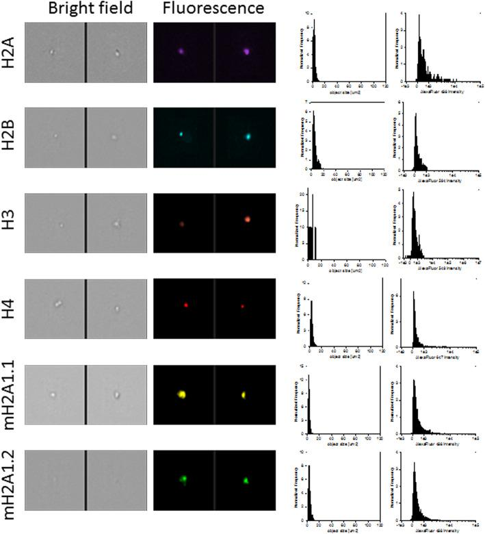 Representative images, size distribution and fluorescence signal intensity from fluorescence marker of canonical histones (H2A, <t>H2B,</t> H3, H4) and 2 large variants of histone H2A (macroH2A1.1 and macroH2A1.2). ImageStream photographs show bright-field images and histone staining (fluorescence from Alexa Fluor® 488, Alexa Fluor® 549, Alexa Fluor® 594 or Alexa Fluor® 647)