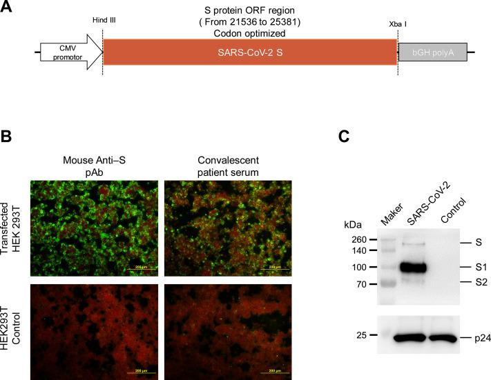 Identification of SARS-CoV-2S protein expression and SARS-CoV-2 pseudotyped virus Construction and identification of S expressing plasmid. SARS-CoV-2S protein gene was inserted in the pCDNA3.1 vector. Immunofluorescence assay for S protein expression in pcDNA3.1-SARS-CoV-2S plasmid. The expression was determined using mouse pAb against SARS-CoV-2S protein and convalescent serum samples from COVID-19 patients. Identification of S protein expression in SARS-CoV-2 pseudotyped virus by immunoblot assay. Bands corresponding to SARS-CoV-2S and HIV-1 p24 proteins were detected at the same sample line in the gel.
