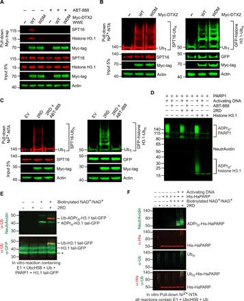 DTC domain required for substrate ubiquitination. ( A ) Immunoblots of Myc-trap pull-downs of whole-cell lysates from HEK293 cells expressing Myc-DTX2 WWE variants or EV (−) in the presence and absence of ABT-888 using anti-SPT16, anti–histone H3.1, anti–Myc-tag, or anti-actin as indicated. ( B ) Immunoblots of SPT16 (left) and histone H3.1 (right) ubiquitination by DTX2 in HEK293 cells expressing His-Ub, GFP–histone H3.1 (right only), and EV (−) or full-length Myc-DTX2 variants: WT (wild type) or WDM (WWE domain mutant); cell lysates and Ni 2+ –pull-down products were immunoblotted with anti-GFP, anti-SPT16, anti–Myc-tag, or anti-actin antibodies as indicated. ( C ) Immunoblots of SPT16 (left) and histone H3.1 (right) ubiquitination by 2RD in the presence and absence of ABT-888 in HEK293 cells expressing His-Ub, GFP–histone H3.1 (right only), and Myc-2RD or EV. The cell lysates and Ni 2+ –pull-down products were immunoblotted with anti-GFP, anti-SPT16, anti–Myc-tag, or anti-actin antibodies as indicated. ( D ) Immunoblot of in vitro ADP-ribosylation of 2RD and histone H3.1 by PARP1. <t>Biotinylated</t> <t>NAD</t> + was used as a source of ADP-ribose and immunoblotted with NeutrAvidin protein. ( E ) Immunoblots of in vitro ubiquitination of biotinylated ADP-ribosylated H3.1 tail-GFP (ADPr n -H3.1 tail-GFP) or H3.1 tail-GFP by 2RD. Biotinylated NAD + was used as a source of ADP-ribose. Top: Anti-Ub (red) and NeutrAvidin protein. Bottom: Anti-Ub (red) and anti-GFP (green). Asterisk likely denotes a truncated H3.1 tail-GFP fragment (see fig. S2C). ( F ) Immunoblot of in vitro ubiquitination of biotinylated ADP-ribosylated His-HaPARP (ADPr n -His-HaPARP) or His-HaPARP by 2RD performed in the presence of E1, UbcH5B, and Ub. Biotinylated NAD + was used as a source of ADP-ribose. Ni 2+ –pull-down products were immunoblotted with anti-His, anti-Ub, or NeutrAvidin protein as indicated to detect Ub n -ADPr n -His-HaPARP products.
