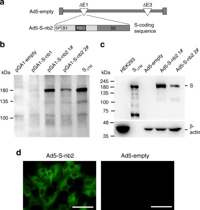 Construction and characterization of Ad5-S-nb2. a Schematic diagram of the genome of Ad5-S-nb2 and the coding sequence for SARS-CoV-2 S protein. b Western blot analysis of the expression of S protein in HEK293 cells transfected with plasmids encoding an original S sequence (pGA1-S-nb1, 4 μg per well) or a codon-modified S sequence (pGA1- S-nb2 1#: 4 μg per well; pGA1- S-nb2 2#: 2 μg per well). A pGA1-empty plasmid was used as the negative control. A purified S protein with the transmembrane domain truncated (S ΔTM ) was used as the positive control. c Western blot analysis of the expression of S protein in HEK293 cells infected with Ad5-S-nb2. Ad5-S-nb2 1#, 0.2 TCID50 per cell; Ad5-S-nb2 2#, 0.05 TCID50 per cell. S ΔTM protein and HEK293 cells infected with Ad5-empty were examined in parallel as the positive and negative controls, respectively. The samples were derived from the same experiment and the blots were processed in parallel. d Immunofluorescence analysis of the expression of S protein in A549 cells mediated by Ad5-S-nb2. A549 cells were infected with Ad5-S-nb2 or Ad5-empty at 0.2 TCID50 per cell. Twenty-four hours later, cells were labeled with a human monoclonal antibody against S protein and then with an Alexa Fluor 488-conjugated mouse anti-human antibody. The cells were observed under a fluorescence microscope. Scale bar = 50 μm. For b and c , two independent experiments were carried out with similar results. For d , one representative result from three independent experiments is shown. Source data are provided as a Source Data file.