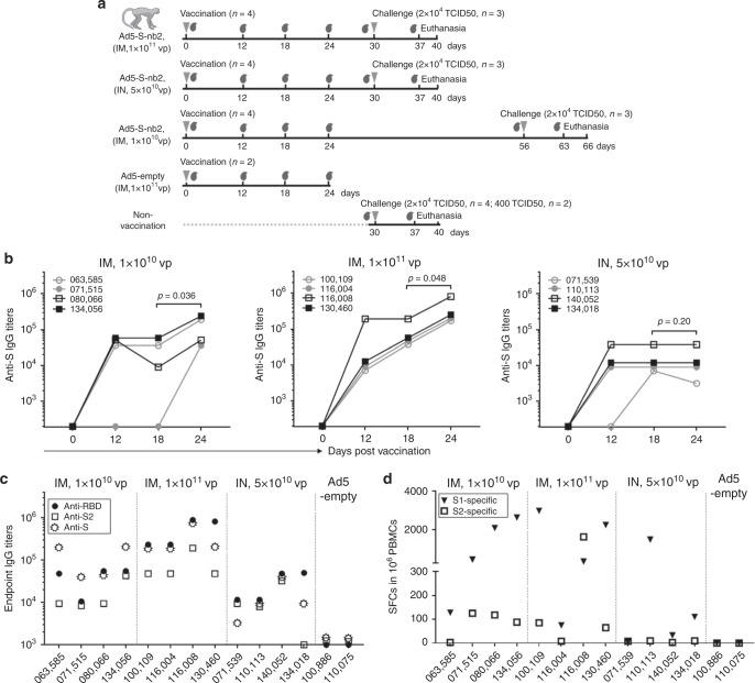 The immunogenicity of Ad5-S-nb2 in Chinese rhesus macaques. a Schematic diagram of the vaccination and challenge studies in rhesus macaques. Three groups of macaques ( n = 4 per group) were vaccinated via an IM injection of 1 × 10 10 vp or 1 × 10 11 vp Ad5-S-nb2 or via an IN and oral inoculation of 5 × 10 10 vp Ad5-S-nb2 each. The control groups include macaques ( n = 2) IM injected with 1 × 10 11 vp Ad5-empty and non-vaccinated macaques ( n = 6). On days 0, 12, 18, and 24 after vaccination, the serum samples and PBMCs were collected. On day 30 (Group 1 and 2) or 56 (Group 3) after vaccination, macaques were challenged. On day 7 or 10 after challenge, macaques were euthanatized. The gray inverted triangles indicate the time points of vaccination or challenge, whereas the gray blood drop symbols indicate the time points at which the serum samples were collected. b The kinetics of IgG response to the S protein in the sera. The endpoint IgG titers are shown. The overlapped data points represent the same values. Comparisons between different time points were performed by Student's t -test (paired, one-tailed). c The antigen recognition profiles of macaque immune sera. Macaque immune sera collected on day 24 were assessed for the IgG antibodies against the RBD, S2, and S protein by enzyme-linked immunosorbent assay (ELISA). d IFN-γ-secreting cells in the PBMCs of rhesus macaques. PBMCs isolated on day 18 were stimulated with two peptide pools corresponding to S1 and S2, respectively. Shown are the number of SFCs in one million PBMCs. All the data points represent the mean values of two technical replicates. Source data are provided as a Source Data file.