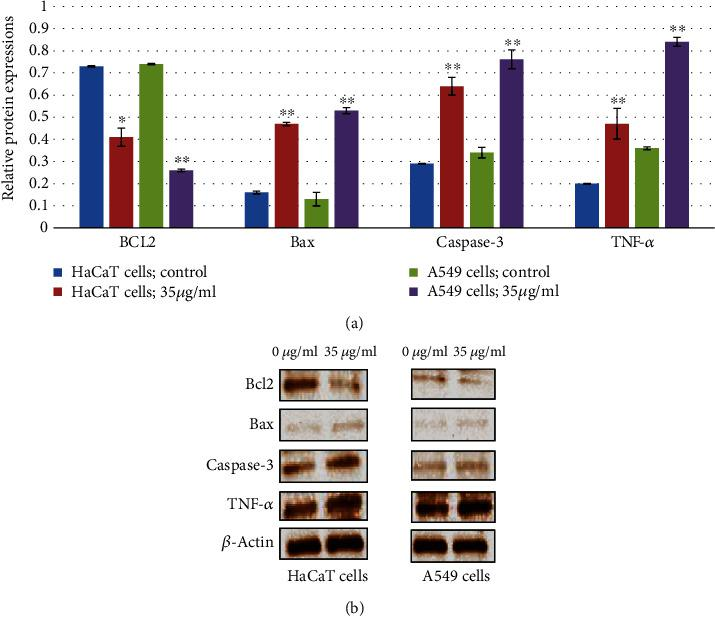 ZnNPs induce apoptosis and inflammatory response of HaCaT and A549 cells. mRNA expression analysis was carried out to assess apoptosis and inflammatory response-related gene expression in HaCaT cells (a) and A549 cells (b). β -Actin was used as an internal reference. ZnNPs significantly increased the gene expression of Bax, caspase-3, and TNF- α and decreased the expression of Bcl-2 in a concentration-dependent manner (a, b). Data represents the mean ± SE of three experiments. ∗ p