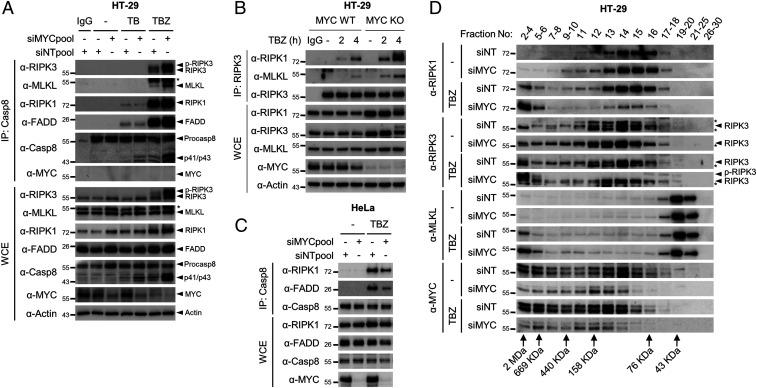 MYC negatively regulates the formation of the RIPK3-containing necrosome. ( A ) MYC depletion promotes necrosome formation upon TBZ stimulation. HT-29 cells transfected with siNT or siMYC were treated with TB or TBZ. After treatment, the cell lysates were immunoprecipitated with an anticaspase-8 antibody and analyzed using immunoblotting. The asterisk indicates RIPK3. ( B ) MYC deletion facilitates necrosome formation. MYC WT and KO HT-29 cells were treated with TBZ for the indicated times, followed by immunoprecipitation with an RIPK3 antibody. ( C ) MYC depletion does not regulate TBZ-induced RIPK1-dependent complex IIb formation in HeLa cells. HeLa cells were transfected with siMYC and treated with TBZ for 3 h. The complex IIb was isolated by immunoprecipitation of caspase-8. ( D ) HT-29 cells were transfected with the indicated siRNA and treated with TBZ for 3 h. The cell lysates were fractionated according to molecular size by gel-filtration chromatography and examined using immunoblotting.