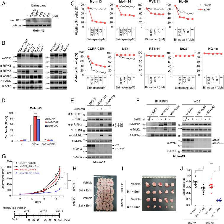 Down-regulation of MYC sensitizes acute myeloid leukemia cells to necroptosis induced by birinapant plus the caspase inhibitor and increases the antileukemia activity in xenograft models. ( A ) The effects of birinapant (Bi) on the levels of cIAP1 in Molm13 cells. ( B ) Immunoblot analysis of various leukemia cell lines. ( C ) Each leukemia cell line was treated with the indicated concentrations of birinapant alone or birinapant plus 20 μM zVAD for 24 h, followed by a FACS analysis to measure cell viability. ( D – F ) Necroptosis and necrosome analysis of Molm13 cells stably expressing shMYC and treated with 25 nM birinapant plus 1 μM emricasan. GSK′963 (RIPK1 inhibitor) was administered to cells at 100 nM to inhibit RIPK1-dependent necroptosis. After treatment, the cells were examined using a FACS analysis to determine the percentage of cell death ( D ), using an immunoblot analysis to determine the phosphorylation of RIPK3 and MLKL ( E ), and using immunoprecipitation to analyze the necrosome ( F ). ( G – J ) MYC depletion suppresses tumor growth after treatment with birinapant (Bir) and emricasan (Emri) in vivo. A total of 5 × 10 5 Molm13 cells were implanted subcutaneously into the flank of 6-wk-old nude mice. After 6 d, the mice were treated with Bir (2 mg/kg) plus Emri (1 mg/kg) as indicated by intraperitoneal injection for 2 wk, and tumor growth is shown in G . Data are the means ± SEM, n = 7 per treatment group, with * P