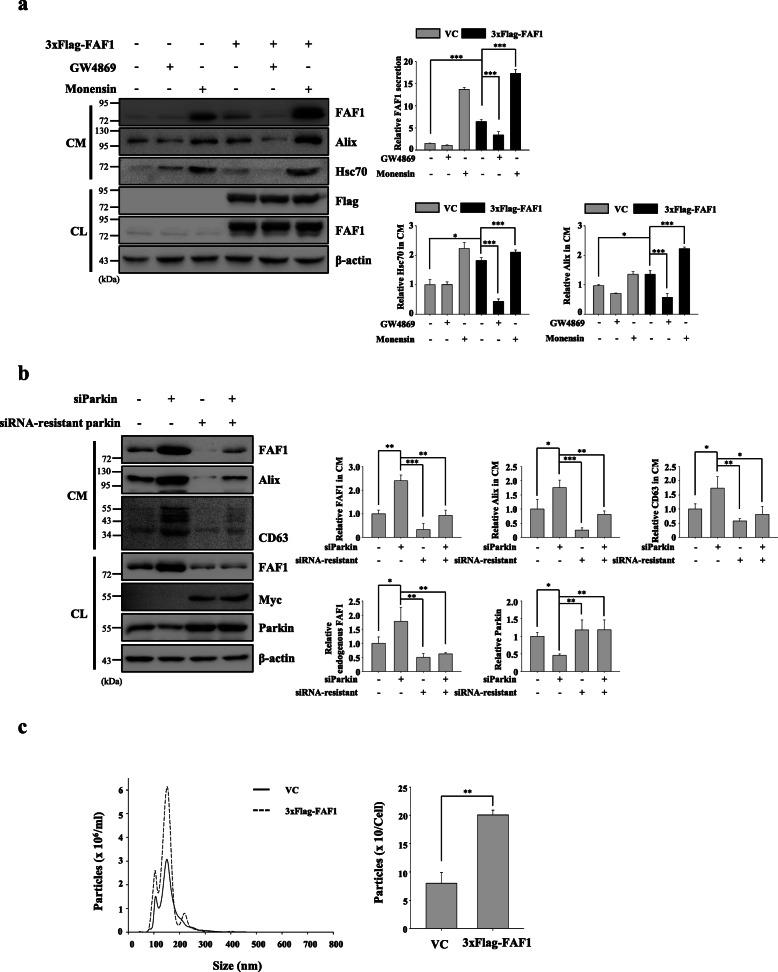 FAF1 positively controls exosome number. a SH-SY5Y cells were transfected with VC or 3xFlag-FAF1 plasmid. At 24 h after transfection, the culture medium was replaced with serum-free medium containing DMSO, GW4869 (10 μM), or <t>monensin</t> (10 μM), and the cells were cultured for 24 h. Left panel: CL and concentrated CM were analyzed by western blotting with the indicated antibodies. Right panel: The graph shows the results of densitometric analysis of FAF1, Alix, and Hsc70 immunoblots in the CM shown in the left panel ( n = 3). All lanes were loaded with the same amount of total protein. b Cells were transfected with siRNA against parkin or siRNA-resistant parkin construct. At 24 h after transfection, the culture medium was replaced with serum-free medium, and the cells were cultured for 24 h. CL and concentrated CM were analyzed by western blotting with the indicated antibodies. Left panel: Representative western blots. Right panel: The graphs show the results of densitometric analysis of FAF1, Alix, and CD63 in CM, FAF1 and parkin in CL normalized to β-actin ( n = 3). c Cells plated on 150 mm dishes were transfected with VC or 3xFlag-FAF1 plasmid. At 24 h after transfection, the culture medium was replaced with exosome-depleted medium, and the cells were cultured for 48 h. Then, exosomes were isolated from the CM with ExoQuick-TC. Left panel: Distribution profile of vesicles isolated by ExoQuick-TC. The blue line indicates exosomes from VC-transfected cells, and the red line indicates exosomes from 3xFlag-FAF1-transfected cells. Right panel: Exosome numbers were normalized to the final cell number ( n = 3). The data are expressed as the mean ± S.D. of three independent experiments. Statistical comparisons were performed using ANOVA followed by Tukey's HSD post hoc analysis (a and b) and Student's t-test (c) . * P