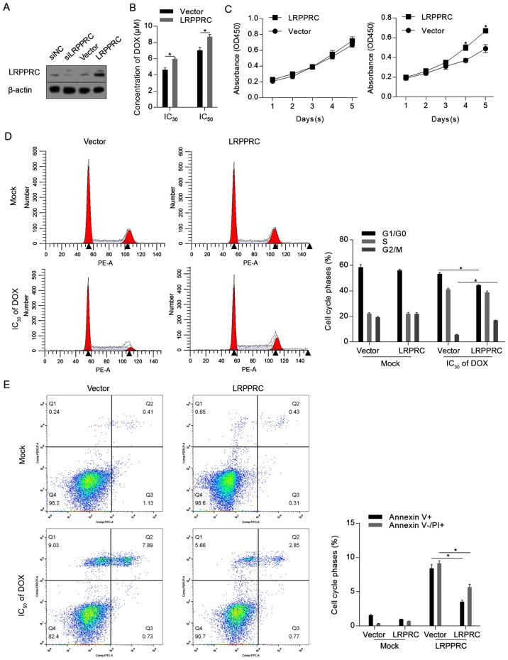 LRPPRC overexpression exerts protective effects against DOX-induced cell injury. (A) A total of 48 h post-transfection with siLRPPRC and the coding sequence of LRPPRC, the protein levels of LRPPRC were detected via western blotting. (B) Following LRPPRC overexpression, the cytotoxicity of DOX in H9C2 cells was measured. (C) Cell Counting Kit-8 assay was performed to detect the effect of LRPRC overexpression on cell proliferation under DOX treatment. (D) DOX at IC 30 was utilized for cell treatment for 24 h, followed by PI staining and flow cytometric analysis to detect the cell cycle phases. (E) DOX at IC 50 was employed for cell treatment for 24 h, followed by Annexin V-FITC/PI double staining and flow cytometric analysis to detect apoptotic and non-apoptotic cell death. * P