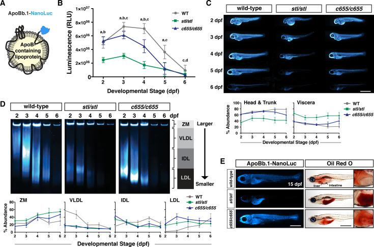 The c655 mutation supports secretion of small LDL-sized lipoproteins in vivo . (A) LipoGlo fish express the NanoLuc luciferase enzyme as a C-terminal fusion on ApoBb.1 as a result of TALEN-based genomic engineering [ 48 ]. (B) LipoGlo signal (RLU: relative luminescence units) in WT, mttp stl/stl , and mttp c655/c655 fish throughout embryonic development (2–6 dpf). Results represent pooled data from 3 independent experiments, n = 22–34 fish/genotype/time-point. Significance was determined with a Robust ANOVA, Games-Howell post-hoc tests were performed to compare genotypes at each day of development, and p-values were adjusted to control for multiple comparisons, a = WT vs. mttp stl/stl , p