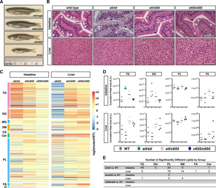 The stl and c655 mttp mutations have differential effects on growth and the accumulation of lipid in intestine and liver. (A) Representative images of male WT and mttp mutant fish at 12 weeks of age. (B) Representative images of H E stained intestine and liver from adult male WT and mttp mutant fish (7.5 mo), scale = 50 μm, * indicate goblet cells, arrows indicate representative lipid accumulation in enterocytes. (C–E) Intestine and liver tissue from adult male fish were extracted based on equal concentration of protein. Tissue lipid extracts from WT and mttp mutant fish were quantitated using an HPLC system coupled to a tandem mass spectrometer (LC-MS/MS) (n = 3; 1 fish per sample/genotype). (C) Heat maps represent fold-change from WT of over 1000 individual lipid species grouped into lipid classes (triacylglycerol [TG, n = 274], diacylglycerol [DG, n = 108], mo noacylglycerol [MG, n = 36], sphingomyelin [SM, n = 72], cholesterol ester [CE, n = 7], ceramides [Cer, n = 44], phospholipid [PL, n = 472], free fatty acid [FA, n = 27] and other lipids [O; including sterols, sphingosine, sulfatide, zymosteryl and wax esters, n = 10]). (D) Quantification of total intestinal and liver TG, DG, PL, and FA from mutant lines as expressed as a sum of lipid group (n = 3). For additional lipid groups, see S11 Fig . (E) The number of individual lipid species data from panel (C) that are statistically different from WT (adj. p