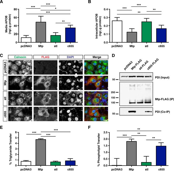 The c655 mutation disrupts TG transfer activity, but not PL transfer activity of the zebrafish Mtp complex. (A, B) COS-7 cells were first transfected with an expression vector for human APOB48 (5 μg), distributed equally in 6-well plates, and subsequently transfected with plasmids expressing either wild-type zebrafish mttp -FLAG, mttp stl -FLAG, mttp c655 -FLAG, or empty vector (pcDNA3) (3 μg). After 72 h, APOB48 was measured via ELISA in media (A) or in the cell (B). Data are representative of 7 independent experiments (each data point is the mean of three technical replicates), mean +/- SD, One-Way ANOVA with Bonferroni post-hoc tests, * p