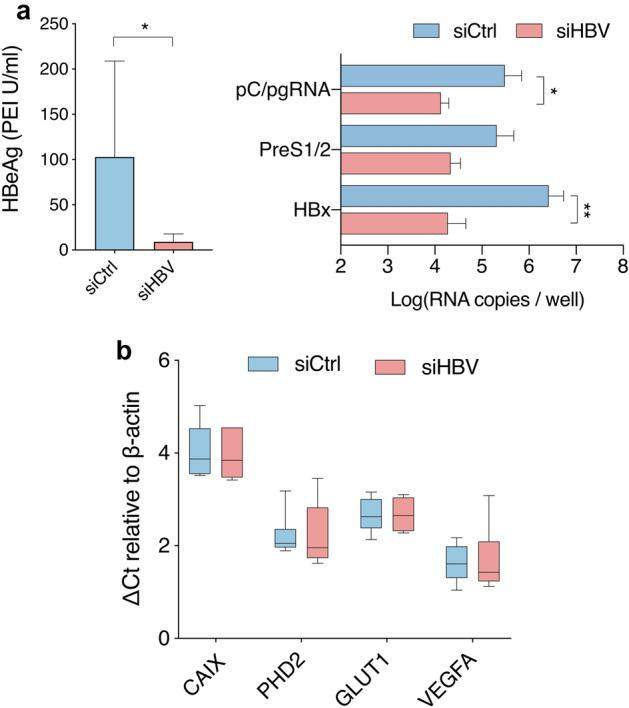 Effect of silencing viral transcription in HBV transgenic mice on hypoxia target gene transcripts. HBV transgenic mice (n = 6 per group) were treated with liver directed siRNAs targeting the HBx region (siHBV) which is commonly shared by all viral RNAs or with a control siRNA (siCtrl). Seven days later we assessed the efficacy of siHBV silencing by quantifying: serum HBeAg levels ( a ), HBV RNAs in the liver and hypoxia target gene ( CAIX, <t>VEGFA,</t> GLUT1 and PHD2 ) RNAs ( b ). Hypoxia target genes values are expressed as ΔCt values by subtracting the Ct value of the housekeeping gene β-actin from Ct value of the gene of interest. Mann Whitney ( a ) or 2-way-ANOVA with Bonferroni correction ( b ) analyses were applied with p