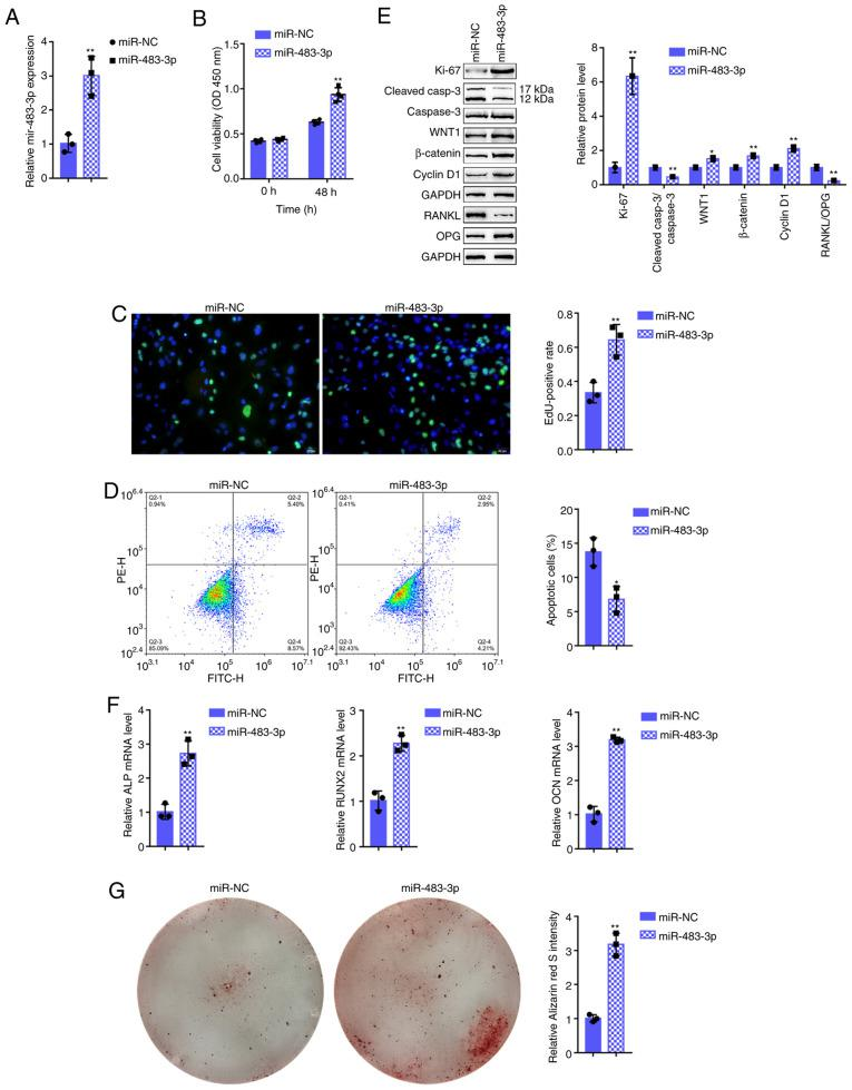 Effects of miR-483-3p on hFOB1.19 cell proliferation and osteogenic differentiation. (A) miR-483-3p overexpression was generated in hFOB1.19 cells by transfection with miR-483-3p, as confirmed by RT-qPCR. hFOB1.19 cells were transfected with miR-483-3p and examined for (B) cell viability by CCK-8 assay; (C) DNA synthesis capacity by EdU assay, and (D) cell apoptosis by flow cytometric assay. (E) The protein levels of Ki-67, cleaved-caspase-3, caspase-3, WNT1, β-catenin, cyclin D1, RANKL and OPG were examined by western blot analysis, and (F) the mRNA expression of osteogenesis markers, including ALP, RUNX2, OCN and OPN was determined by RT-qPCR. (G) The mineralization of hFOB1.19 cells was determined by Alizarin Red staining. * P