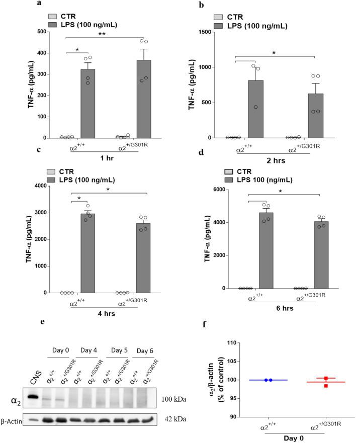 The α 2 Na + /K + -ATPase isoform is not involved macrophage cytokine production in response to LPS. BMDMs derived from bone marrow cells from the femurs and tibias of α 2 +/+ and α 2 +/G301R mice were cultured in L929 cell supernatant for 6 days. After 6 days, the BMDMs were treated with LPS (100 ng/mL) or PBS (CTR). ( a – d ) The levels of TNF-α were measured in the supernatant 1 h ( a ), 2 h ( b ), 4 h ( c ), and 6 h ( d ) after LPS treatment. ( e ) α 2 Isoform levels were measured by Western blotting in bone marrow derived macrophages from α 2 +/+ and α 2 +/G301R mice at the indicated times during differentiation. β-Actin was used as a loading control. A protein extract from the central nervous system (CNS) was loaded as a positive control. ( f ) Densitometric analysis from day 0 (arbitrary units, A.U.) showing that no obvious differences existed in the α 2 protein levels in the BMDMs derived from the α 2 +/+ and α 2 +/G301R mice. The data are presented as the mean ± SEM from two individual experiments. The data are presented as the mean ± SEM. *p