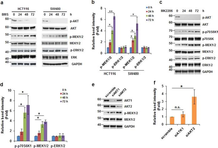 Inhibition of AKT induces phosphorylation of MEK1/2 but not ERK1/2. a , b BMS-754807 induces MEK1/2 phosphorylation in colon tumor cells. Western blot analyses of MEK1/2 and ERK1/2 phosphorylation using extracts from cells treated with BMS-754807 (240 nM) for 0–72 h. a Representative images are shown. b Densitometric quantification of the levels of phospho-MEK and phoshpo-ERK in ( a ). The ratio of phospho-MEK/GAPDH or phospho-ERK/GAPDH in HCT116 or SW480 cells with 0 h treatment is designated as 1. Data from three independent experiments were analyzed by one-sample t -test (mean ± SD; * P