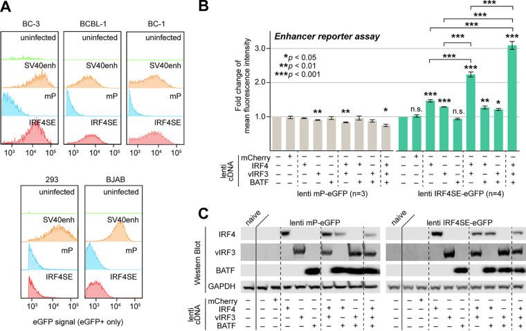 IRF4, <t>vIRF3,</t> and BATF cooperatively promote IRF4-SE activity. (A) A 500-bp sequence centered on the prominent IRF4 and vIRF3 ChIP-Seq peaks ∼63 kb upstream of the IRF4 TSS drove eGFP expression from a lentiviral enhancer reporter (IRF4SE-eGFP) after transduction into PEL cell lines BC-3, BCBL-1, and BC-1 but not the IRF4/vIRF3-negative cell lines 293 and BJAB. Cell lines were transduced at MOI 3 and analyzed 4 days after transduction. Similar reporters containing the SV40 enhancer or a minimal promoter (mP) served as positive or negative controls, respectively. Reporters were titrated by qRT-PCR and, where possible, FACS analysis prior to transduction. Data are representative of results from n = 3 biological replicates. (B) The lentiviral IRF4SE or mP eGFP reporters were transduced into 293 cells at MOI 3, together with the indicated combinations of lentiviral expression vectors for vIRF3, IRF4, or BATF. Expression of mCherry served as a negative control. eGFP mean fluorescence intensities were measured by FACS analysis on day 3 after transduction and are shown relative to values from cells that were not transduced with lentiviral <t>cDNA</t> expression vectors. Error bars represent SEM from 3 (mP) or 4 (IRF4SE) biological replicates. *, P