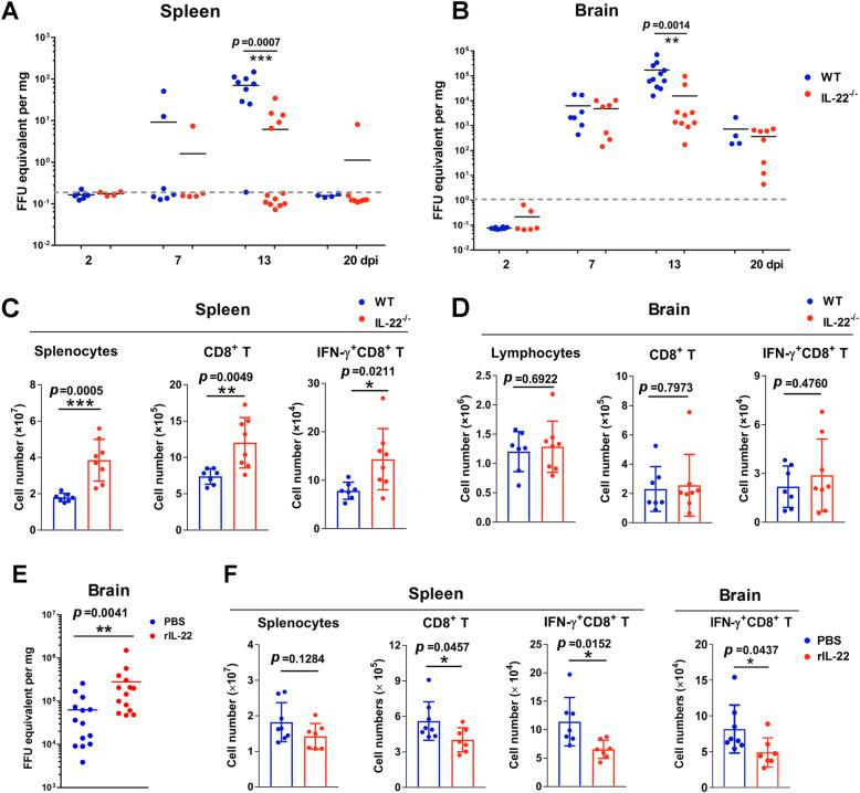 IL-22 dampens anti-ZIKV CD8 +  T cell responses. Neonatal WT and  IL-22 -/-  mice were  s.c.  infected with ZIKV.  a ,  b  Viral loads of the spleen and brain were measured at 2, 7, 13, and 20 dpi.  c ,  d  Lymphocytes were harvested from the spleen and brain at 13 dpi and stimulated with ZIKV peptide for 5hrs in the presence of Brefeldin A. ZIKV-specific CD8 +  T cells were quantified by intracellular flow cytometry staining.  e  Neonatal WT mice were  s.c.  infected with ZIKV, followed by rIL-22 treatment as indicated in Fig.   2 e . Viral loads of the brains were measured at 13 dpi, and  f  ZIKV-specific CD8 +  T cells were quantified in the spleen and brains. All experiments were repeated three times independently. Data are shown as means ± SEM and a two-tailed Student's  t  test was used for statistical analysis. * p