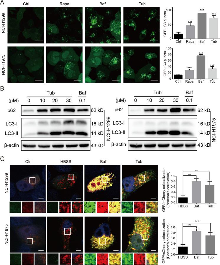 Tub induced blocking of late-stage autophagic flux in lung cancer cells. a Tub induced an increase in the number of GFP-LC3 puncta. GFP-LC3-overexpressing stable cell lines were treated with the vehicle, rapamycin (Rapa, 0.5 μM), bafilomycin A1 (Baf, 0.1 μM) or Tub (20 μM) for 24 h. Images of the cells were captured with a laser-scanning confocal microscope (scale bar = 20 µm). b Tub induced the upregulation of LC3-II and p62. c Lung cancer cells transfected with mCherry-GFP-LC3 tandem plasmids were treated with the vehicle, HBSS, Baf (0.1 μM) or Tub (20 μM) for 24 h. Like Baf treatment, Tub treatment also caused an increase in yellow fluorescence (creating by the merging of red and green fluorescence emitted by mCherry and GFP, respectively). The images were captured by a laser-scanning confocal microscope. The bar chart (right) represents the colocalization rate of GFP and mCherry, which was calculated with the Image J software (Scale bar = 5 µm). *** p