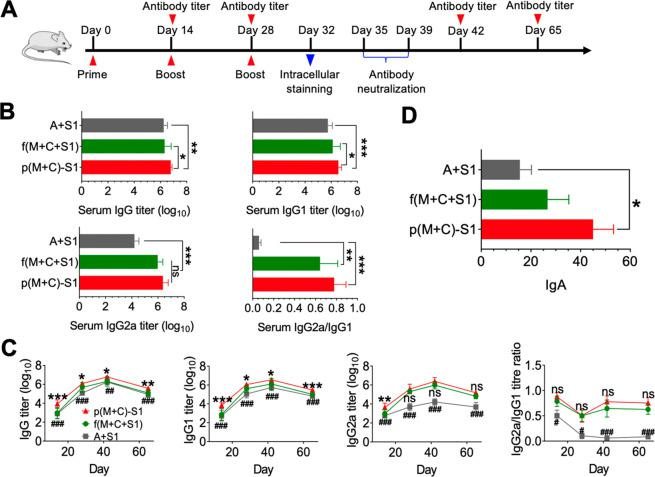 Nanovaccines elicit strong humoral immunity. (A) Schematic of the immunization strategy. (B) Quantitative comparison of the S1-specific production of IgG, IgG1, IgG2a and IgG2a/IgG1 on day 42. (C) Change of antibody titer over time (* represents the comparison of p(M+C)–S1 with f(M+C+S1); # represents the comparison of p(M+C)–S1 with A+S1), n = 10. (D) Quantitative comparison of the S1-specific production of IgA at day 65. Data are presented as the mean ± SEM (* P or # P