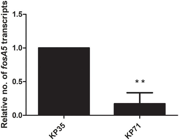 Relative fosA5 expression levels of IMP-producing K . pneumoniae . qRT-PCR assay of fosA5 expression was performed in K . pneumoniae isolate KP35 and KP71. The relative number of transcripts of fosA5 were normalized to 16S rRNA expression and calculated using the 2 -ΔΔct method compared to the expression of fosfomycin-susceptible K . pneumoniae isolate KP35. p -values were calculated using unpaired t-test (*, p -value