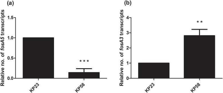 Relative fosA5 and fosA3 expression levels of NDM-producing K . pneumoniae . qRT-PCR assay of fosA5 (a) and fosA3 (b) expression was performed in K . pneumoniae isolate KP23 and KP58. The relative number of transcripts of fosA5 and fosA3 were normalized to 16S rRNA expression and calculated using the 2 -ΔΔct method compared to the expression of fosfomycin-susceptible K . pneumoniae isolate KP23. p -values were calculated using unpaired t-test (*, p -value