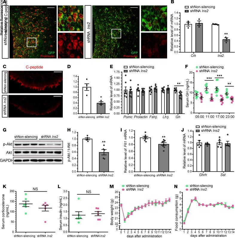 Insulin knockdown in the PVN of adult mice reduces pituitary GH gene expression and secretion. GFP lentiviral vector carrying nonsilencing shRNA control (shNon-silencing) or Ins2 shR NA (shRNA Ins2 ) was injected into the PVN of adult mice. ( A ) A confocal image showing colocalization of the GFP-infected cells with proinsulin in the PVN 2 weeks after the lentiviral injection. ( B ) qRT-PCR data showing the efficient knockdown of Ins2 , but not Crh , by Ins2 shRNA in the microdissected PVN. ( C and D ) Confocal images of C-peptide–immunoreactive nerve terminals in the ME ( C ) and quantification of the fluorescence intensity ( D ). ( E ) Relative levels of the mRNA for anterior pituitary hormones in the pituitary. ( F ) Serum GH concentrations in tail vein samples taken 4 times a day. ( G and H ) Immunoblot analysis of p-Akt (Ser473), Akt, and GAPDH levels in the pituitary ( G ). Quantification of p-Akt levels normalized to Akt ( H ). ( I ) Relative pituitary Pit-1 mRNA levels. ( J ) Relative hypothalamic GH–releasing hormone ( Ghrh ) or Sst mRNA levels. ( K and L ) Serum corticosterone ( K ) and insulin ( L ) concentrations. ( M and N ) Changes in body weight ( M ) and food consumption ( N ) for 2 weeks after the injection. Data are shown as mean ± SEM, 2-tailed unpaired Student's t test. * P