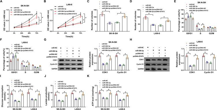 MiR-506-3p bound to STAT2 to modulate the development of NB. SK-N-SH and LAN-6 cells were transfected with miR-506-3p, miR-NC, miR-506-3p+pcDNA- STAT2 or miR-506-3p+pcDNA-NC. ( A and B ) Cell proliferation was monitored at different time points using MTT assay. ( C and D ) Colony formation assay was performed at 48 h post-transfection. ( E and F ) Cell cycle was assessed by flow cytometry assay at 48 h post-transfection. ( G and H ) The levels of CDK1 and Cyclin D1 at 48 h post-transfection were quantified by Western blot. ( I–K ) Glucose production, lactate production and ATP level were checked at 48 h post-transfection to assess glycolysis using the corresponding kit. * P