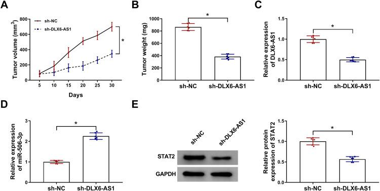 DLX6-AS1 deficiency inhibited NB development in vivo. Experimental mice were inoculated with SK-N-SH cells transfected with sh-DLX6-AS1 or sh-NC. ( A ) Tumor volume was measured every five days. ( B ) At 30 d post-inoculation, all tumor tissues were excised to detect tumor weight. ( C–E ) The expression of DLX6-AS1, miR-506-3p and STAT2 in excised tumor tissues was examined using qRT-PCR or Western blot. * P