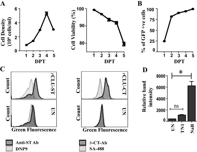 Optimisation of culture conditions and r CLU expression in MEXi 293E cells. ( A ) and ( B ) Data shown for MEXi293E cells transfected with pEGFP-N1; means + /− SEM (n = 3) are plotted. In some cases the error bars are too small to be visible. ( A ) Left Panel: Viable cell density over 5 days post transfection (DPT). Right Panel: Percent cell viability over 5 DPT. ( B ) Percent of cells transiently expressing GFP measured for 5 DPT. ( C ) Transfection efficiency of cells overexpressing r CLU-αC-ST and r CLU-CT were measured by immunostaining of fixed, permeabilised cells on day 5 post-transfection. Untransfected (UN) cells were used as control. To detect r CLU-αC-ST, cells were stained with anti-strep tag antibody (Anti-ST Ab) or DNP9 (an isotype-matched antibody of irrelevant specificity) followed by goat anti-mouse <t>IgG-CF488.</t> r CLU-CT was detected using biotinylated anti-C tag conjugate ( b -CT-Ab) followed by streptavidin-CF488 (SA-488); the negative control in this case was cells incubated with SA-488 alone. ( D ) Densitometric analysis of Western blot with culture supernatant from cells overexpressing r CLU-αC-ST harvested on day 5 DPT and probed with <t>streptactin-HRP</t> conjugate. Cells were either supplemented with tryptone N1 (TN1) or sodium butyrate (NaB) or untreated (UN). Means + /− SEM (n = 3) are plotted; statistically significant differences are indicated by * (Oneway ANOVA, p