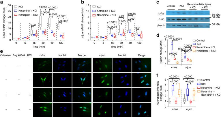 Ketamine reduces Cav1.2-stimulated mRNA and protein levels in BSM cells. Mouse BSM strips were subjected to 50 mM KCl activation of Cav1.2 for 0–120 min and then lysed for mRNA preparation. Changes in c-fos ( a n = 9 BSM strips) and c-jun ( b n = 9 BSM strips) mRNA were measured by quantitative RT-PCR. Upregulation of both c-fos and c-jun were inhibited by 100 µg ml −1 ketamine and by 10 µM nifedipine. c Representative immunoblot from two independent experiments showing that upregulation of c-fos and c-jun by 30 min treatment with 50 mM KCl to activate Cav1.2 was inhibited by ketamine (100 µg ml −1 ) and by nifedipine (10 µg ml −1 ). d summarized data ( n = 5 BSM strips) of experiments similar to that shown in c . e 50 mM KCl upregulated expression and nuclear translocation of c-fos and c-jun in human BSM cells in a manner inhibited by ketamine (100 µg ml −1 ) and rescued by Bay k8644 (200 nM). Scale bar: 20 µm. These images, representative of two separate triplicate experiments, are summarized in f ( n = 38–46 BSM cells). Data are shown as box and whiskers, center line is the median of the data set, box represents 75% of the data, and bars indicates whiskers from minimum to maximum. Data are analysed by two tailed Student's t -test. P