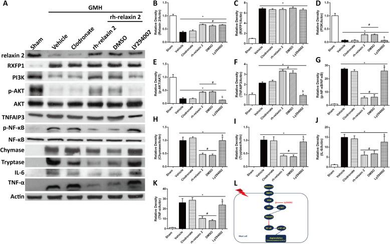 LY294002 significantly decreased PI3K ( a , d , l ), phosphorylated Akt ( a , e ), and TNFAIP3 ( a , f ) expression, which was accompanied by the increase of phosphorylated NF-κB ( a , g ), chymase ( a , h ), tryptase ( a , i ), IL-6 ( a , j ), and TNF-α ( a , k ) on the first day after GMH. * P