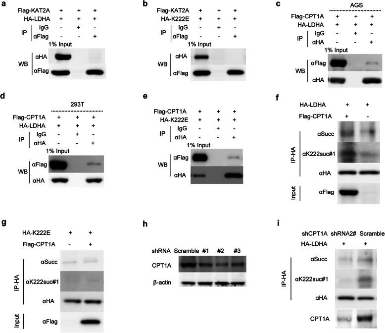 CPT1A binds to and succinylates LDHA at K222. a and b <t>KAT2A</t> does not bind to LDHA or its mutant K222E. AGS cells were transfected with Flag-KAT2A in combination with HA-LDHA or HA-K222E plasmid. KAT2A fusion protein was pulled down by Flag antibody, LDHA or K222E was detected using HA antibody. c - e CPT1A interacts with LDHA and its mutant K222E in AGS and 293 T cells. Cells were transfected with Flag-CPT1A in combination with HA-LDHA ( c , d ) or HA-K222E ( e ). The co-IP assay was performed similarly as above ( a , b ). f and g CPT1A promotes the succinylation of LDHA ( f ), but not of its mutant K222E ( g ). AGS cells were transfected with the indicated plasmids. Then, HA-LDHA was immunoprecipitated and its succinylation analyzed using either pan-succinylation or K222suc-specific antibody. h and i Knockdown efficiency of three CPT1A shRNAs in AGS cells was determined by western blot ( h ). CPT1A deficiency decreased the succinylation of LDHA ( i )