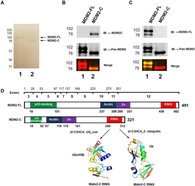 Bacterially expressed MDM2-FL and MDM2-C can be recognized by distinct monoclonal antibodies. ( A ) pRSETA-mdm2-C was constructed from pRSETA-hdm2, 33 a generous gift from Dr. Lindsay Mayo, by PCR-mediated cloning. MDM2-FL and MDM2-C were overexpressed in BL21DE3 E. coli strains with plasmids pRSETA-hdm2 and pRSETA-mdm2-C, respectively. 2 µg of the bacterially purified MDM2-FL and MDM2-C, lanes 1 and 2, respectively, were loaded into 10% SDS-PAGE gel. Proteins were transferred to PVDF membrane. The quality of purification was confirmed by using either Pierce reversible staining for membrane or Coomassie Blue for in-gel detection. Arrows indicate the bands for MDM2-FL and MDM2-C. ( B ) Purified MDM2-C and ( C ) MDM2-FL proteins on a Western Blot visualized with either seconday anti-mouse or anti-rabbit antibody conjugated with Cy-3 and Cy-5. MDM2-FL-specific monoclonal antibody 2A9, or MDM2-C-specific monoclonal antibody 7C7 in combination with R D polyclonal antibody (which detects both MDM2-FL and MDM2-C). The bottom image is the superimposition of bands probed with two antibodies. ( D ) Schematic structural domains of MDM2-FL and MDM2-C. Mdm2 gene consists of 12 exons. Known motifs are represented in color, Green: p53-binding domain; Blue: Acidic domain; Purple: zinc-finger domain; Red: RING domain (really interesting new gene). The domain interface clusters and cartoon representation of the complex of MDM2-C RING and UQ_con are show (E2 Ubiquitin-Conjugating Enzyme D2) and ubiquitin are shown. This data represents results from three independent experiments.