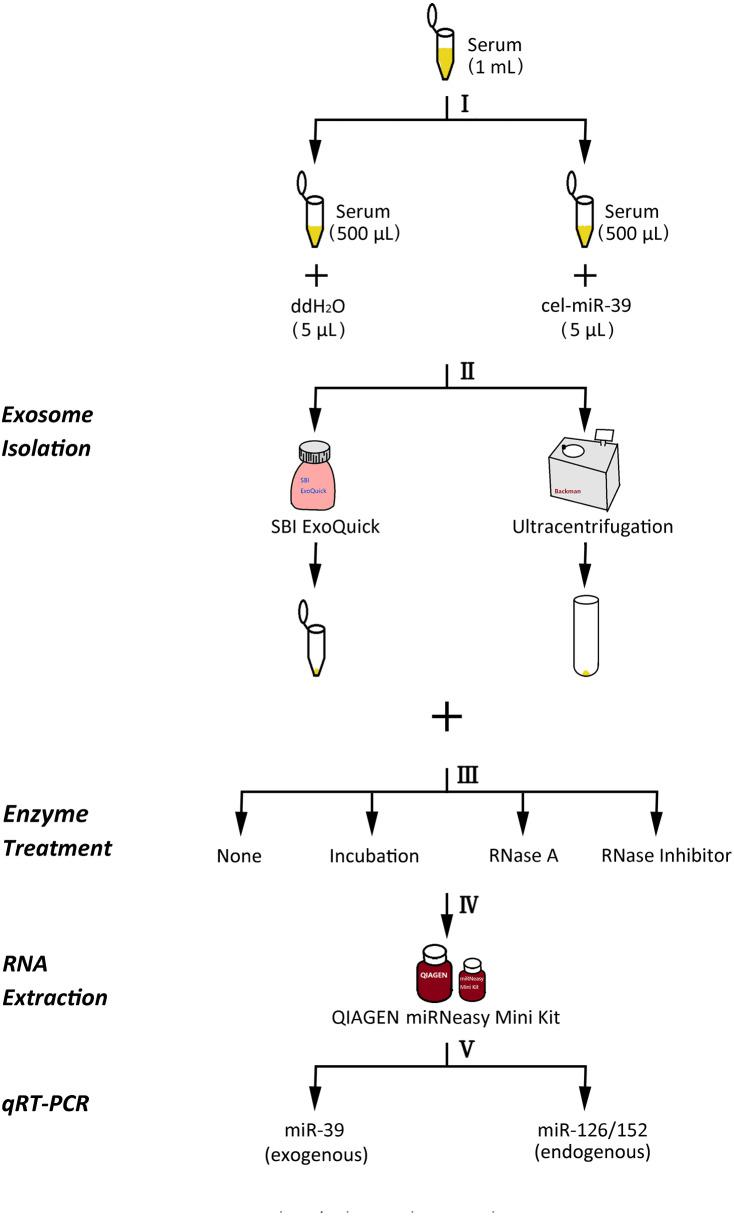The experimental flowchart of this research. (I) exogenously added cel-miR-39 in serum, blank control: ddH 2 O, (II) isolation of exosomes by ExoQuick or UC method, (III) using 10 µg/mL, 20 µg/mL, 30 µg/mL RNase A or 1 U/µL RNase inhibitor or nothing with incubation at 37 °C for 1 h or nothing (control) to treat exosome pellets, (IV) extraction of total RNA including miRNA by miRNeasy Mini Kit, (V) detecting the quantity of cel-miR-39, miR-126 or miR-152 in exosome samples by qRT-PCR.