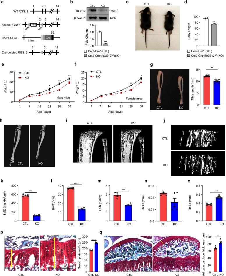 Cartilage-specific RGS12 KO mice display postnatal growth retardation, shortening of long bones and growth plate defects. a Organization of the wild-type RGS12 allele, the floxed RGS12 targeting construct, the Col2a1-cre transgene, and the recombinant RGS12 allele. Exons are indicated by black boxes and numbered. neo: neomycin resistance gene, loxP: loxP sites, Cre: Cre recombinase coding sequence. b Cartilage derived from RGS12 KO (RGS12-knockout, Col2-Cre + ;RGS12 fl/fl ) or CTL (Control, Col2-Cre + ) were immunoblotted with an antibody against mouse RGS12. <t>β-ACTIN</t> was used as a loading control. c One-month-old RGS12 KO mice show growth retardation. d Quantitative data showed body size reduction was detected in RGS12 KO mice compared to CTL littermates as described in c . e , f The postnatal growth curve shows a lower weight in male and female KO animals. The highest weight difference in RGS12 KO mice compared to CTL mice was observed at the age of 1 month. n = 5, P