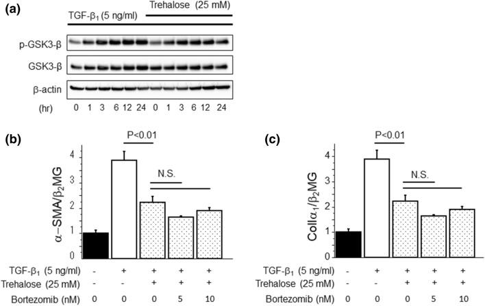 Trehalose had no effect on the protein degradation pathway related to the proteasome. ( a ) PMCs were pre-treated with trehalose for 30 min prior to TGF-β 1 stimulation. Trehalose did not alter the ratio of phosphorylated GSK3-β to total GSK3-β protein expression induced by TGF-β 1 . Data are expressed as mean density of phosphorylated GSK3-β bands relative to total GSK3-β bands ± SEM expression (n = 3 cell preparation/group). ( b , c ) PMCs were pre-treated with bortezomib for 1 h followed by 30 min pre-treatment with trehalose. Then, TGF-β 1 was added to PMCs for 24 h. Bortezomib did not influence the suppressive effects of trehalose on α-SMA and ColIα 1 mRNA expression induced by TGF-β 1 in PMCs (n = 3 cell preparation/group). Data are expressed as copies of α-SMA and ColIα 1 mRNA relative to copies of β 2 microgloblin mRNA ± SEM. Each experiment was performed two times independently.