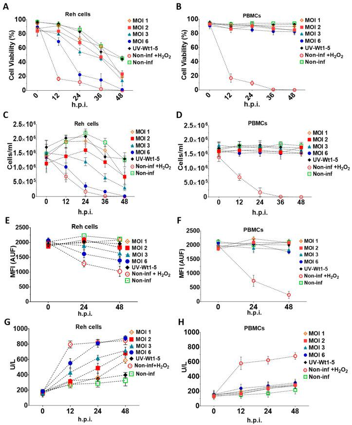 Effects of Wt1-5 infection of Reh cells and PBMCs on cell viability and cell membrane permeability. Reh cells at a logarithmic growth phase and PBMCs were inoculated with trypsin-activated Wt1-5 (MOI 1 to 6) in RPMI culture medium without FBS. Non-infected cells, UV-inactivated virus-infected cells at MOI 2, and non-infected and H 2 O 2 -treated cells were used as a control. Infected Reh cells ( A ) and PBMCs ( B ) were harvested at the indicated post-infection times (h.p.i.) and subjected to the trypan exclusion test. Reh Cells ( C ) and PBMCs ( D ) were collected at the post-infection times indicated and the viable cells counted in a Neubauer chamber and expressed as cells/mL. Cell proliferation analysis of Reh cells ( E ) and PBMCs ( F ) infected or not infected with Wt1-5 (MOIs 1 to 6), using CellTracker™ Blue CMAC Dye. Quantification is expressed in terms of arbitrary fluorescence units (AUF) through the post-infection period indicated. Cell membrane permeability of Reh Cells ( G ) and PBMCs ( H ) was determined at the indicated post-infection times by measuring lactate dehydrogenase (LDH) activity in the 700 g supernatant of infected, non-infected and UV-inactivated virus-infected cells cultured in RPMI culture medium without FBS. Data are shown as mean SD of three independent experiments performed in duplicate.