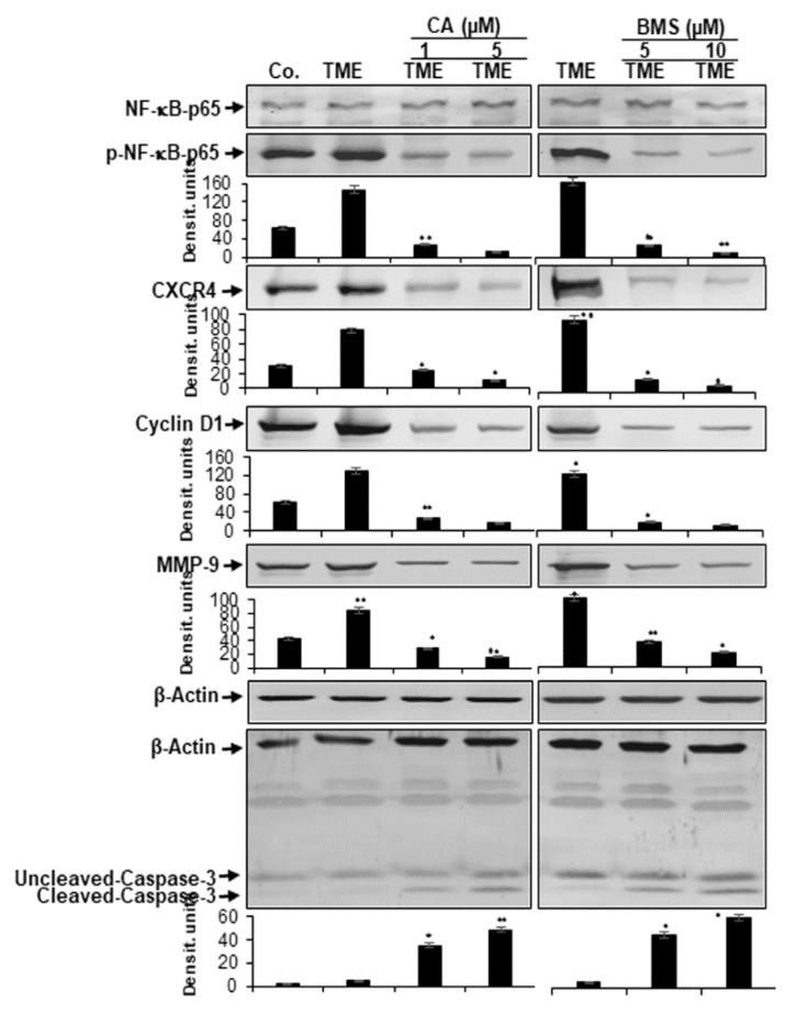 Effect of Calebin A (CA) or specific IKK inhibitor BMS-345541 on activation of NF-κB and NF-κB-regulated gene end-products in CRC cells: Serum-starved HCT116 cells in alginate cultures from multicellular pro-inflammatory TME cultures were treated as described in Materials and Methods. Immunoblotting of whole-cell lysates from HCT116 was performed for anti-p65-NF-κB, anti-phospho-p65-NF-κB, anti-MMP-9, anti-CXCR4, anti-Cyclin D1, and anti-cleaved-caspase-3. β-actin served as an internal loading control in all experiments. For densitometric evaluation, results are compared to control and p