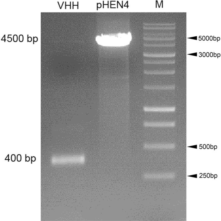 Agarose gel electrophoresis of the VHH PCR fragments and the pHEN4 phagemid digested with NotI and PstI restriction enzymes before ligation and transformation of TG1 bacteria.