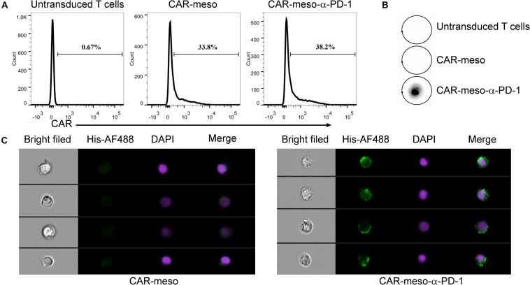 Construction of CAR-T cells secreting α-PD-1 scFv. (A) The surface expressions of CAR were determined by protein-L staining using FACS test. (B,C) The secreted α-PD-1 scFv with His tag by CAR-T cells cold bind with CAR-T cells. CAR-T cells were activated by <t>anti-CD3/CD28</t> beads for 24 h. Then the supernatants were subjected to western blot assay and scFv secretion from CAR-meso-α-PD-1 cells were confirmed (B) . CAR-meso and CAR-meso-α-PD-1 cells were further stained with AF488-labeled antibody against His tag, and checked on image flow cytometer (C) . CAR-T cells derived from 5 different donors were tested and the representative results were shown.