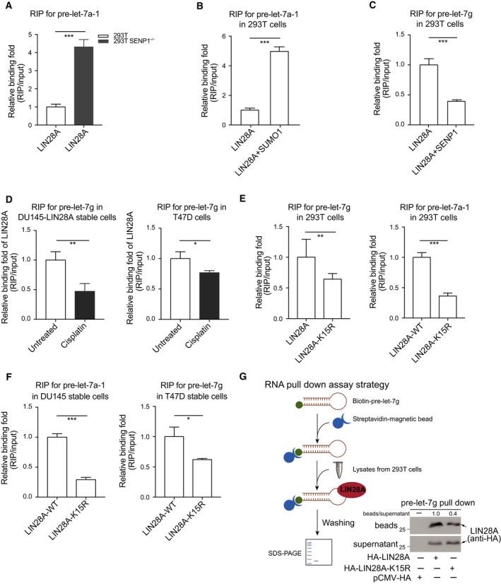 SUMOylation of LIN28A increases its binding to pre‐let‐7. (A) Knockout of SENP1 increases the interaction of LIN28A with pre‐let‐7a‐1. 293T cells and 293T SENP1 −/− cells transfected with HA‐LIN28A and pre‐let‐7a‐1 were lysed for RIP assay. (B) SUMO1 modification enhances the association of LIN28A with pre‐let‐7a‐1. 293T cells transfected with indicated plasmids were used for RIP assays. (C) DeSUMOylation by SENP1 suppresses the interaction of LIN28A with pre‐let‐7g. 293T cells transfected with indicated plasmids were used for RIP assays. (D) Cisplatin suppresses the interaction of LIN28A with pre‐let‐7g. DU145 stably expressing HA‐LIN28A cells or T47D‐shLIN28A re‐expressing HA‐LIN28A stable cells were treated with Cisplatin (10 µ m ) for 12 h, and then, RIP assays were performed. (E, F) Pre‐let‐7s bound to LIN28A‐WT were much more than that to SUMO‐site mutant LIN28A‐K15R. 293T cells transfected with HA‐LIN28A or HA‐LIN28A‐K15R together with indicated pre‐let‐7 plasmids were used for RIP assays (E). RIP analysis of RNAs associated with HA‐LIN28A or HA‐LIN28A‐K15R from DU145 and T47D stable cell lines (F). RIP assays were carried out with anti‐HA (E) or anti‐LIN28A (F) antibody. (G) RNA pull‐down assay using biotinylated pre‐let‐7g and lysates from 293T cells transiently expressing HA‐LIN28A or HA‐LIN28A‐K15R. RNA‐bound fraction (beads) and unbound fraction (supernatant) were detected by western blotting with anti‐HA antibody. LIN28A bands were quantified by imagej software. The schematic diagram of RNA pull‐down assay is presented. RNAs extracted from IP complexes were analyzed by qRT–PCR, all RNA signals of RIP were normalized to those of input, then presented by relative binding fold. All data for qRT–PCR are presented as the mean ± SD with triplicates or quadruplicate sets, differences between individual groups as indicated were analyzed using the t ‐test (two‐tailed and unpaired), and P values of