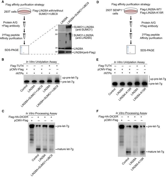 SUMOylation of LIN28A promotes pre‐let‐7 uridylation and inhibits pre‐let‐7 processing. (A, D) Schematic representation is shown for protein purification strategy from 293T cells transfected as indicated expressing plasmids. Purified Flag‐tagged LIN28A and SUMO1‐LIN28A (transfected with SUMO1/UBC9) proteins were immunoblotted with the indicated antibodies (A, right panel). (B, E) SUMOylation of LIN28A promotes pre‐let‐7 oligouridylation. For in vitro uridylation assay, purified Flag‐tagged LIN28A‐WT, SUMO1‐LIN28A (A), or LIN28A‐K15R (D) was incubated with in vitro transcribed uniformly biotin‐labeled pre‐let‐7g along with or without Flag‐TUT4, which was immunoprecipitated from 293T cells. After 30 min of reaction, RNAs were exacted from the reaction mixture and separated on 20% polyacrylamide 8 m urea gels, and then detected by northern blot. (C, F) SUMOylation of LIN28A inhibits pre‐let‐7 processing by DICER. For in vitro processing assay, transcribed in vitro uniformly biotin‐labeled pre‐let‐7g was incubated with purified Flag‐tagged LIN28A‐WT, SUMO1‐LIN28A (A), or LIN28A‐K15R (D) along with Flag‐HA‐DICER immunoprecipitated from 293T cells. After 60 min of reaction, RNAs were exacted from the reaction mixture and separated on 20% polyacrylamide 8 m urea gels and then detected by northern blot.