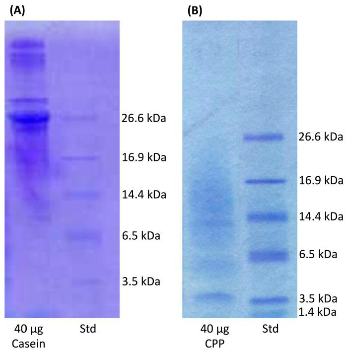 A 16.5% Tris-Tricine SDS-PAGE Gel stained with Coomassie G-250 using the Laemmli buffer system (1.0 M Tris, pH 8.45). Std, Polypeptide Standards. A comparison of ( A ) casein versus. ( B ) CPP is presented to the show CPP from the tryptic digested casein.