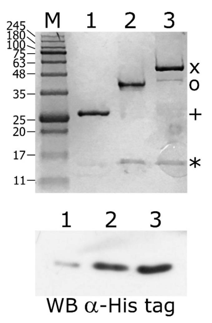 Glutathion S-transferase (GST)-pull down assay of purified His-HspR incubated with GST-HrcA or GST-HspR bound to Glutathione-Sepharose slurry. Upper panel: samples collected from the column containing GST alone (lane 1), GST-HspR- (lane 2) and GST-HrcA-GSH-Sepharose slurry (lane 3) were separated by SDS-PAGE together with molecular mass ladder (lane M) and stained with Coomassie Brilliant Blue. The bands corresponding to GST (+), GST-HspR (o), GST-HrcA (x) and His-HspR (*) are indicated on the right. Lower panel: samples collected from the column containing GST alone (lane 1) and GST-HrcA- (lane 2) and GST-HspR-GSH-Sepharose slurry (lane 3) were separated by SDS-PAGE, blotted on a nylon membrane and stained with anti-His Tag antibody.